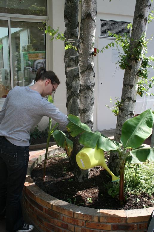 Bananier boulonnais 005 light